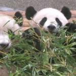 パンダ見るならアドベンチャーワールド!出産に湧く和歌山【白浜の秘密】