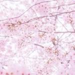 飛騨高山の桜2017 花見と、外せない観光スポット&グルメ!