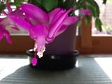 シャコバサボテンの花