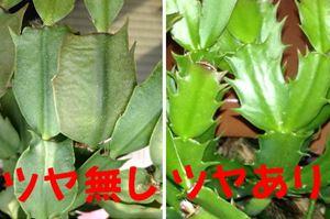 葉のツヤの比較