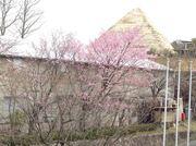 桜とピラミッド