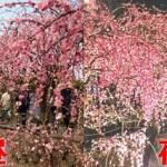 なばなの里2018年|河津桜を見る時間と混雑状況