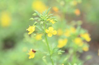 黄色の小さな花
