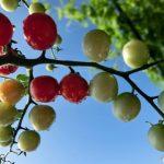 【室内】水耕栽培でミニトマトの花が落ちるそんな時はこれ!