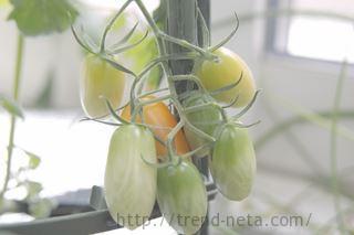 青いミニトマト