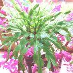 シャコバサボテンの花を1年で2回咲かせる方法!