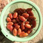 12月4日にミニトマト収穫
