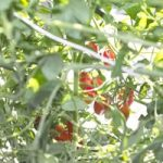 室内でミニトマトが鈴なり|トマトのグリーンカーテンを水耕栽培で!