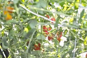 ミニトマトの鈴なり