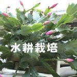 シャコバサボテンを水耕栽培で育ててみた結果【1年後】
