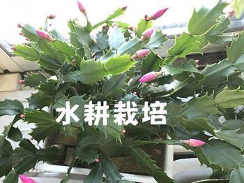 水耕栽培のシャコバサボテン
