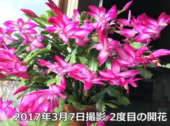 シャコバサボテンの2度の開花