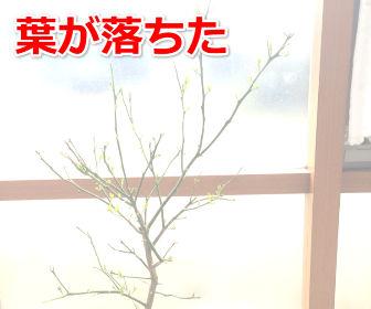 葉が落ちたレモンの木