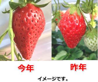 イチゴの大きさの比較