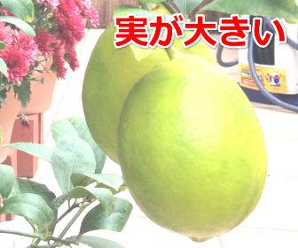 実が大きいレモン