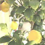 【保存版】レモンの育て方!室内で鉢植え栽培する手引き丸わかり!