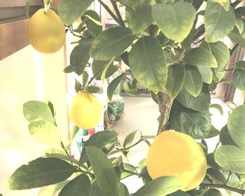 レモンの実り