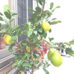 レモンの木を鉢植えで1年育てたら、とんでもないことが分かった!