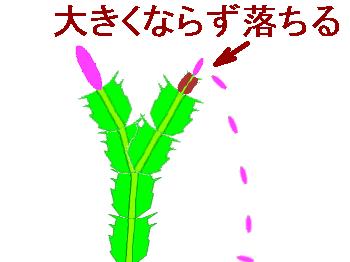 シャコバサボテンの花が落ちる