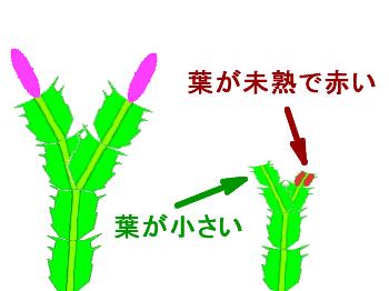 シャコバサボテンの葉の成熟度