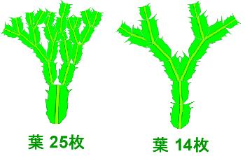 シャコバサボテンの葉の分岐