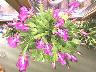 4月に咲かせたシャコバサボテン