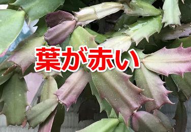 シャコバサボテンの葉が赤い