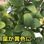 もうダメかも!鉢植えレモンの葉っぱが黄色になり枯れてきた!