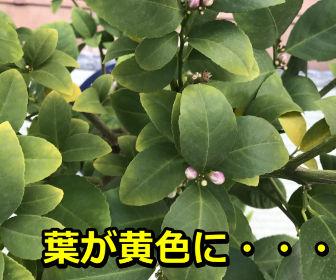 レモンの葉が黄色