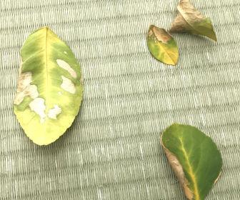 落ちたレモンの葉っぱ