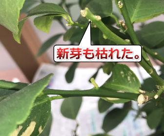 ダメージの大きなレモンの木