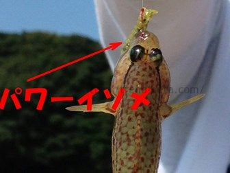 パワーイソメで釣ったハゼ