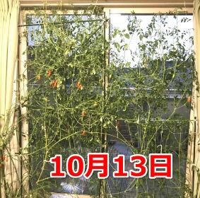10月のミニトマトの様子