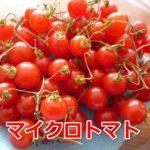 マイクロトマトを食べて分かった味は美味しいかった・・・