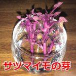 天ぷら最高!サツマイモの水耕栽培がヤバかったよ!