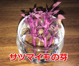 サツマイモの芽