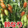 ミニトマトの水耕栽培を室内で!秋が旬の季節だよ!