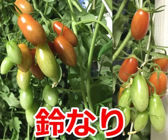 ミニトマトが鈴なり