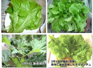 水耕栽培の野菜