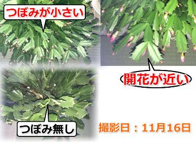 開花の異なるシャコバサボテン