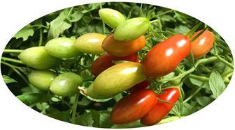 鈴なりのトマト