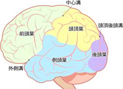 側頭葉と脳の位置