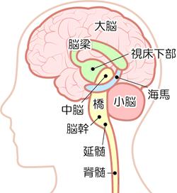 海馬と脳のしくみ