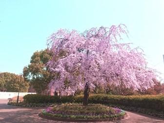 ノリタケの森のしだれ桜