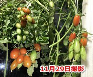 秋に実ったミニトマト