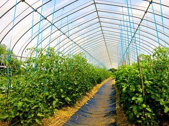 ビニールハウスとトマト栽培