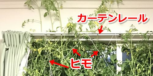 カーテンレールとミニトマト