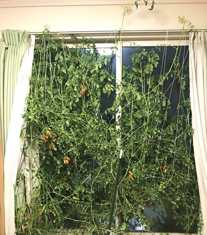 トマト 放任栽培
