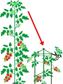トマトを低く仕立て直し