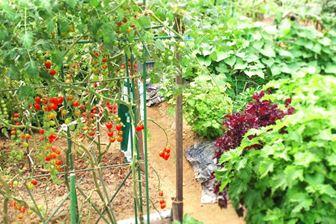 トマトの露地栽培